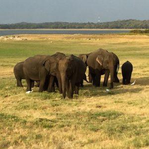 Elephant Gathering Herd Sigiriya Tour
