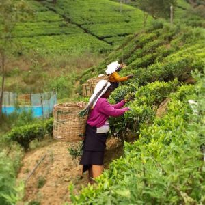 Sri Lanka Tea Country Tours