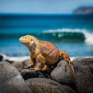Lizard Galapagos Islands